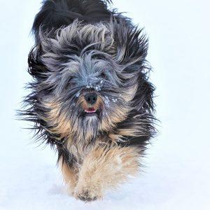 Kleintierpraxis Doc Pox - Tibet Terrier