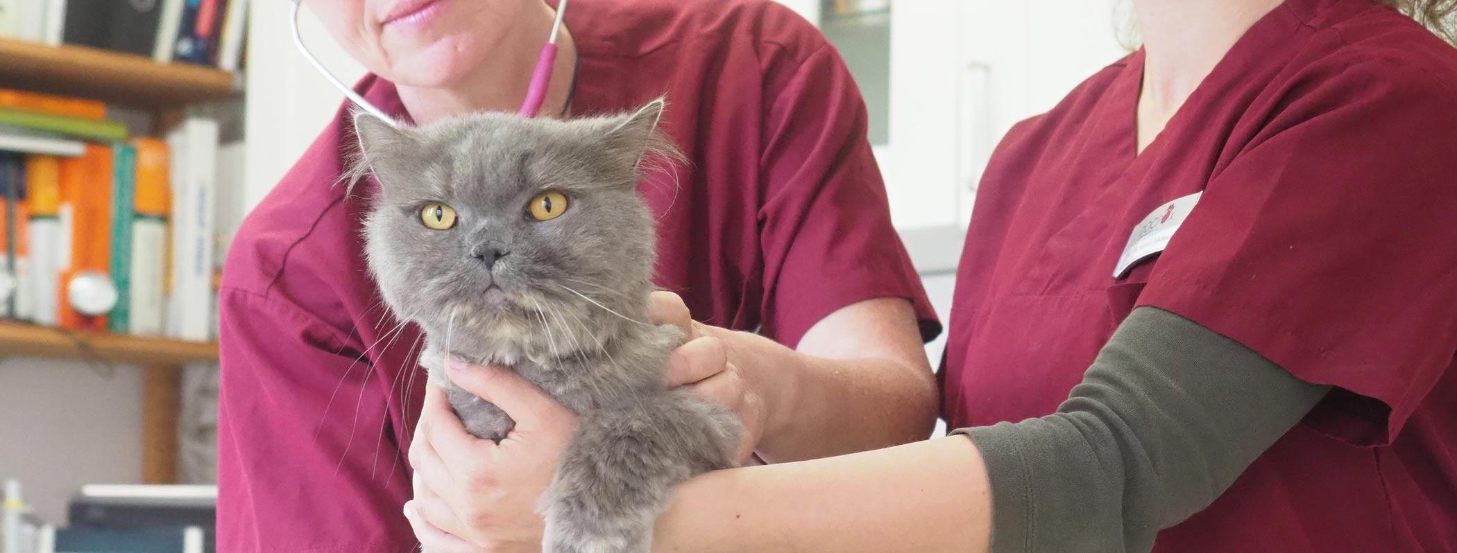 Katze bei der Behandlung in Kleintierpraxis DocPox