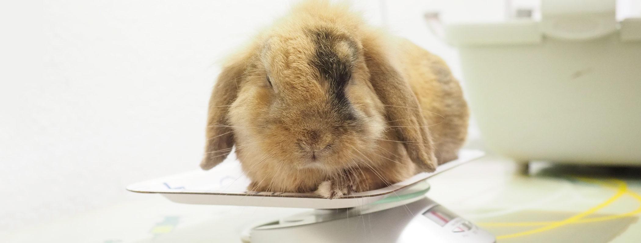 Kaninchen auf der Waage in Kleintierpraxis DocPox