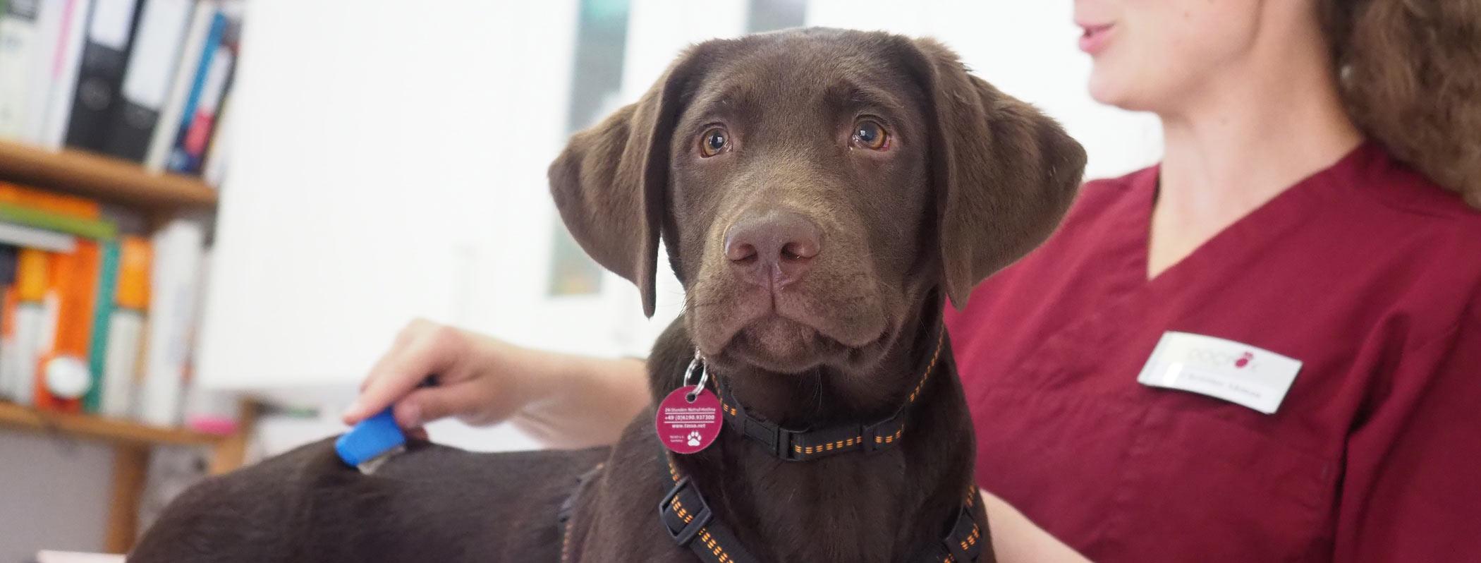 Labrador bei der Behandlung in Kleintierpraxis DocPox